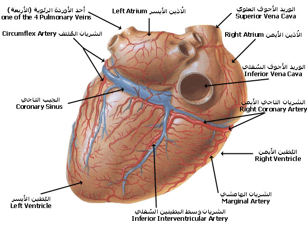 ����� ��� ������� ������ � ������ � ������ � ����� ������ � ������� coronary_arteries_DV