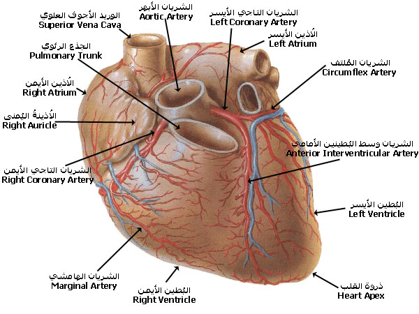 ����� ��� ������� ������ � ������ � ������ � ����� ������ � ������� coronary_arteries_SC