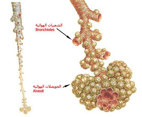 ����� ��� ������� ������ � ������ � ������ � ����� ������ � ������� alveoli.jpg