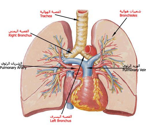 ����� ��� ������� ������ � ������ � ������ � ����� ������ � ������� lung2.jpg