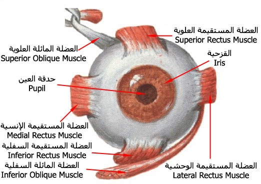 ����� ����� eye_ball_muscles.jpg