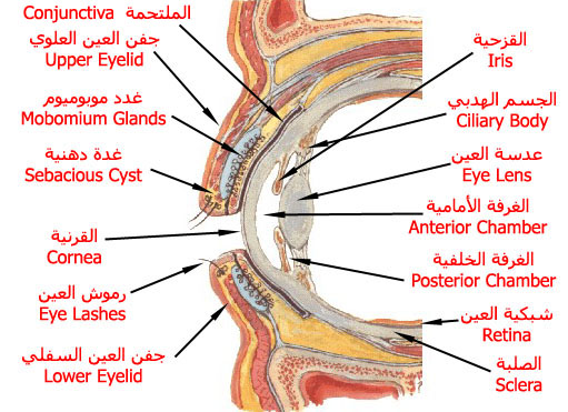 ����� ����� eye_v_section.jpg