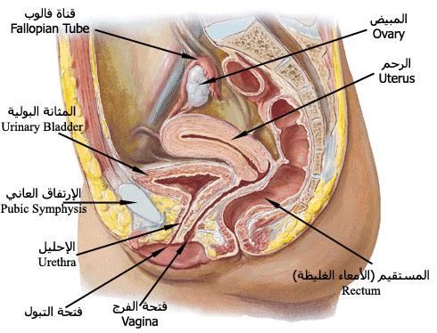 Female anatomy bladder