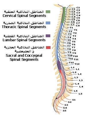 Spinal_cord_segments.jpg