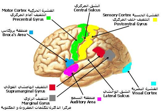 left_hemisphere.jpg