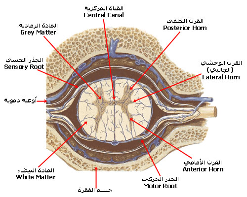 spinal_cord_section